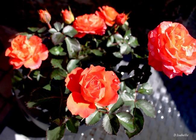2- La rose orange A.jpg