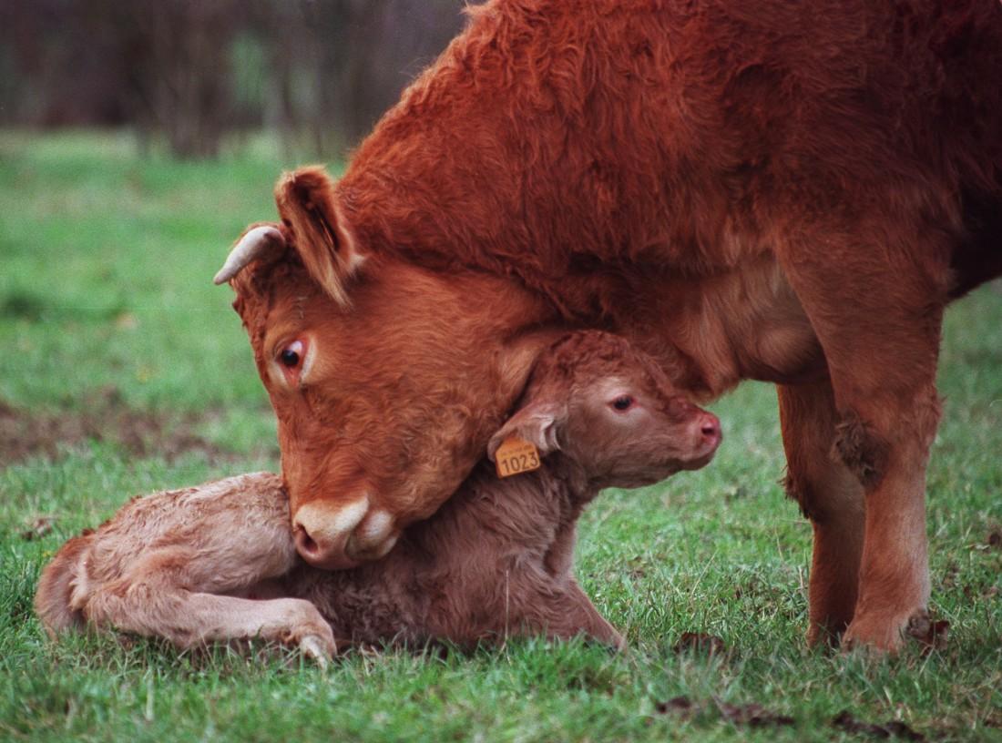 Belle Vache.jpg