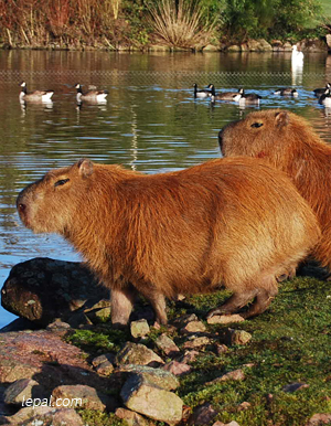 capibara .jpeg