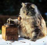chat angora au café.jpg