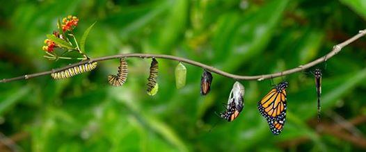 Chenille  papillon.jpg