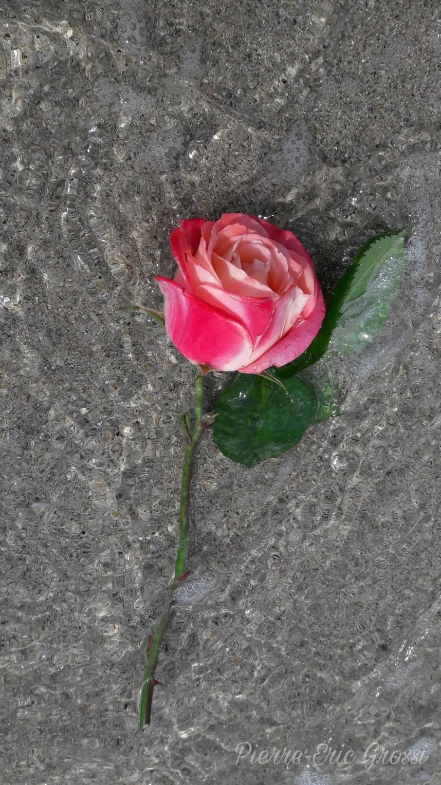 O de rose.jpg