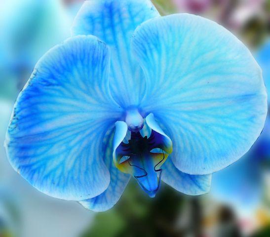 Orchidée bleue 2.jpg
