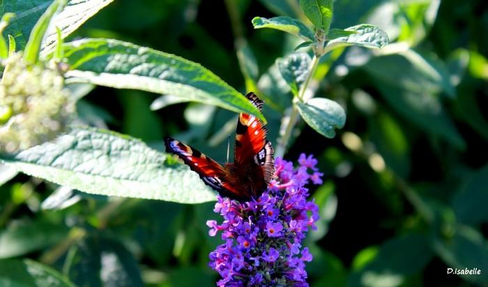 Papillon.jpg 1A.jpg