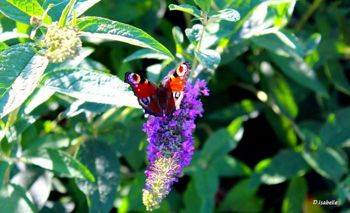 Papillon.jpg 2A.jpg