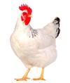 poule-capdouleur-nac.jpeg