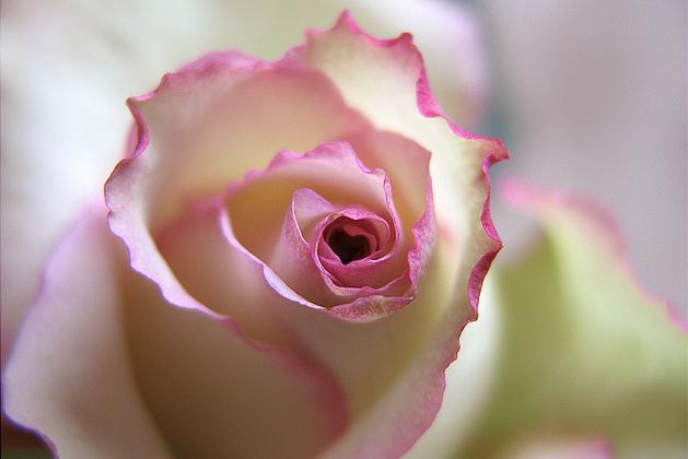 rose coeur.png
