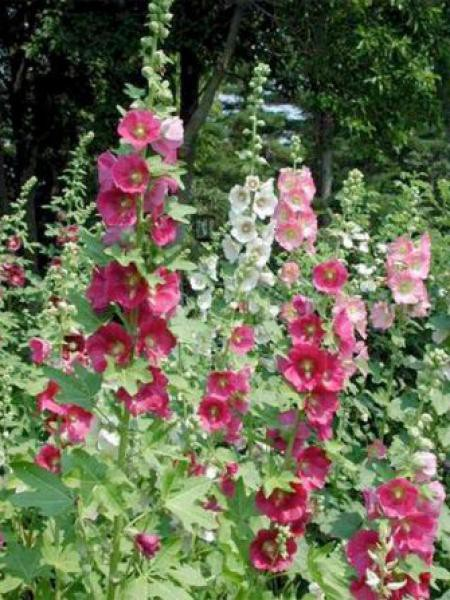 rose-tremiere-simplex-.jpg