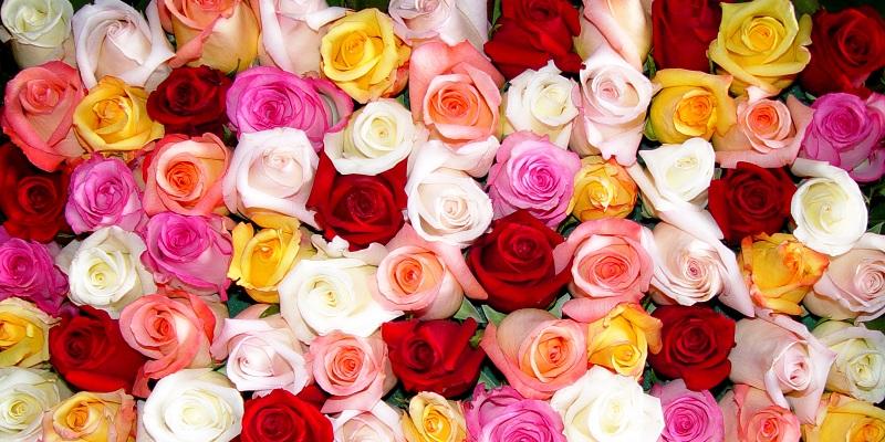 Roses-conseils.jpg